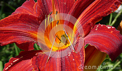 Grasshopper in a red lily