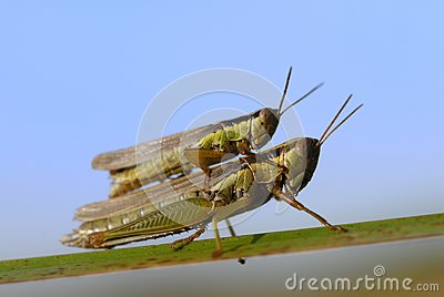 Stock Photo: Grasshopper reproduction