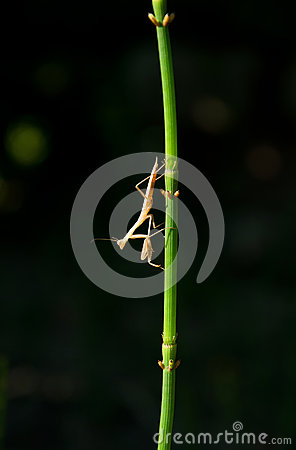 Grasshopper on a stem