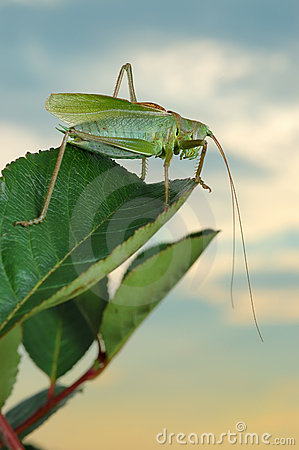 Grasshopper (Tettigonia cantans) at sunset.
