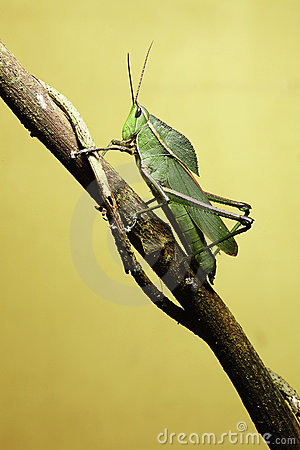 Grasshopper on twig