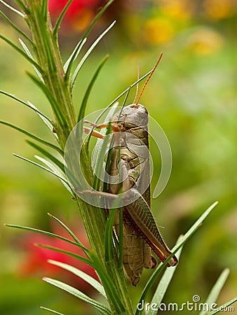 Grasshopper, vertical