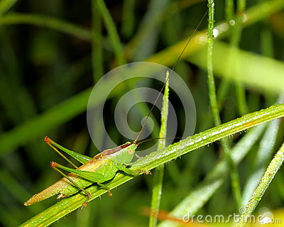 Grasshopper on wet grass