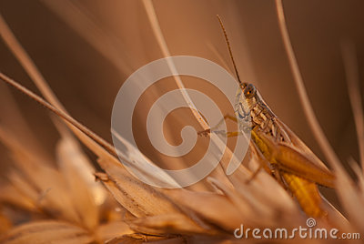Grasshopper on wheat