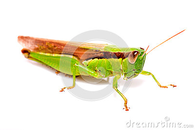 A grasshopper on  white background