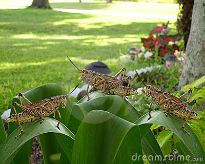 Grasshoppers large 3