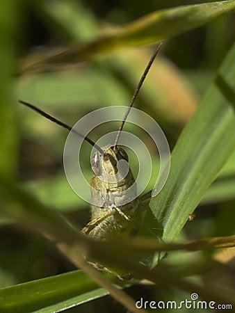 Grasshoppers stare