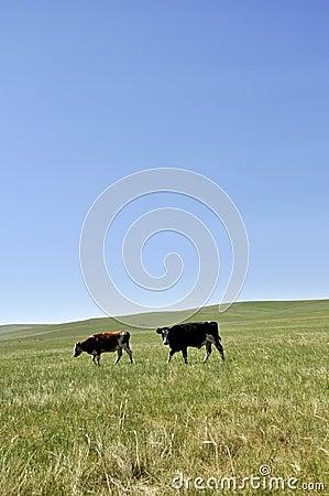 Grassland and cow