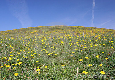 Grassy Hill Dandelion Field