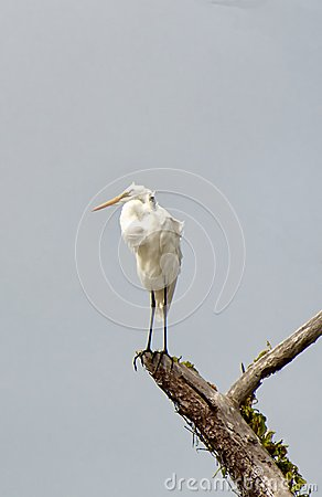 Grat Egret with its catch