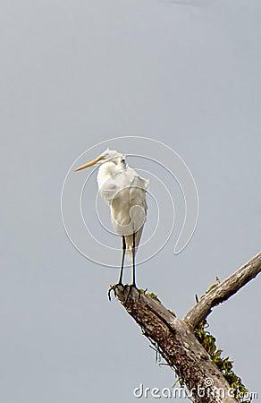 Grat Egret with its catch