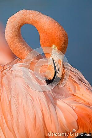 Grater Flamingo (Phoenicopterus ruber)