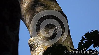 Grau-mit einer Kappe bedecktes Specht-Vogel Picoides canicapillus stock video footage