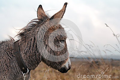 Grauer Esel