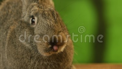 Graues Kaninchenschnüffeln arround stock video footage