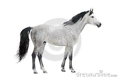 Graues Pferd
