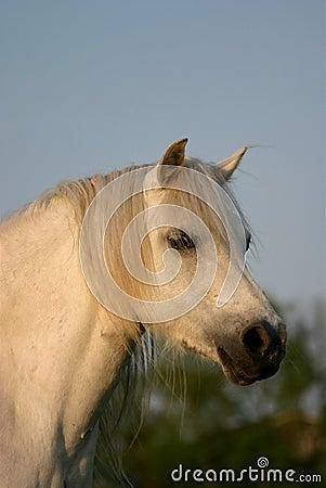 Graues Waliser-Pony