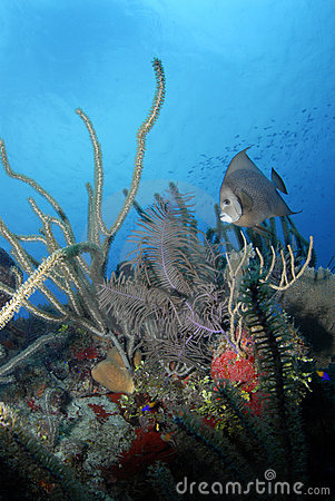 Free Gray Angelfish With Coral Stock Photo - 5712110