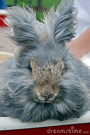 Free Gray Angora Rabbit Royalty Free Stock Image - 6793596
