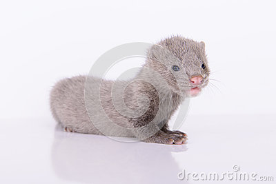 Gray animal mink