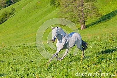Gray Arab horse gallops