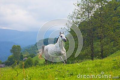 Gray Arab horse
