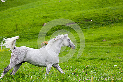 Gray Arab-Pferd