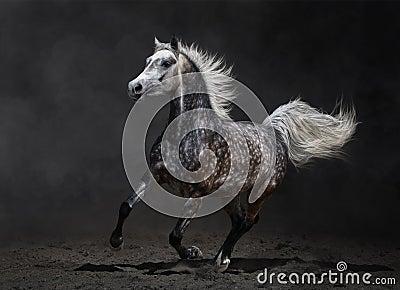 Gray arabian mare gallops