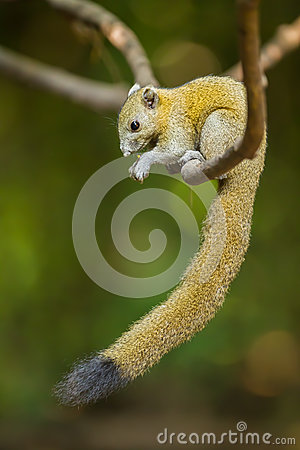 Free Gray-Bellied Squirrel Royalty Free Stock Images - 35963269