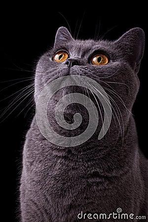 Gray british cat with dark yellow eyes