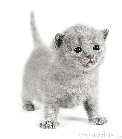 Gray british kitten