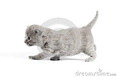 Gray british kitten