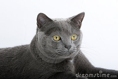 Gray British Short-Haired Cat