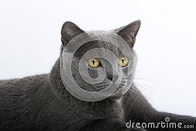 Gray British Short-Haired Cat