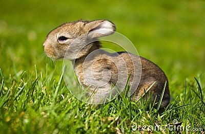 Gray bunny in green grass