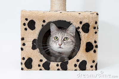 Gray cat in cats house isolated