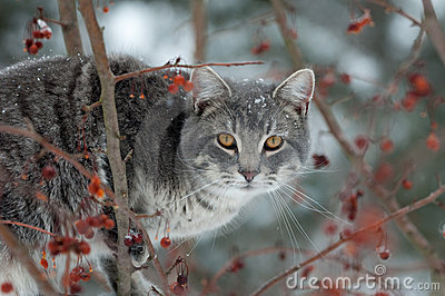 Gray cat hunting