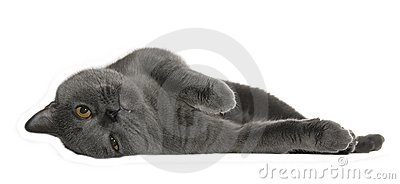 Gray cat lie and relax isolated