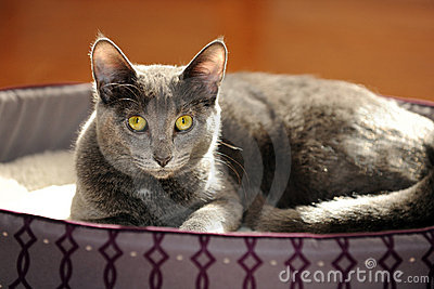 Gray Cat Resting Stock Photo - Image: 17045800