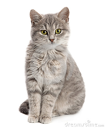 Free Gray Cat Sitting Royalty Free Stock Photography - 49769857