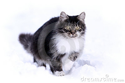 Gray cat in snow