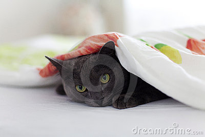 Gray cat under the blanket