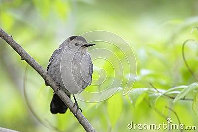 Gray Catbird (Dumetella carolinensis carolinensis)