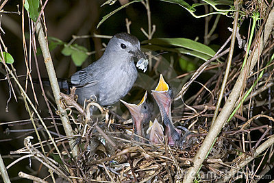 The gray catbird (Dumetella carolinensis) feeding.