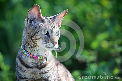 Gray Cornish Rex cat