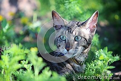 Gray Cornish Rex cat