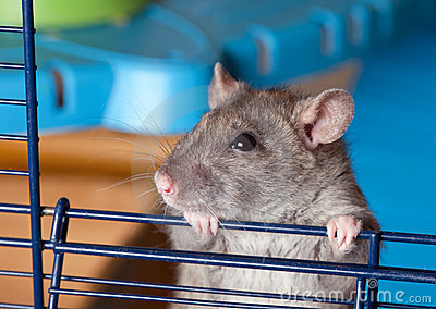 Gray curious rat