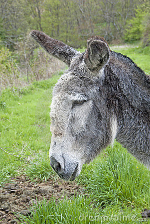 Gray donkey profile