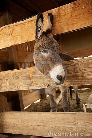 Gray Donkey in a wooden pen