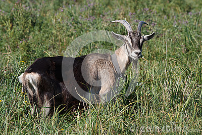 Gray goat standing in the green grass